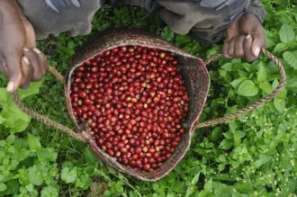 freshly harvested coffee beans